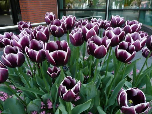 Keukenhof 2013 los tulipanes y flores en holanda ya est n - Jardines de holanda ...
