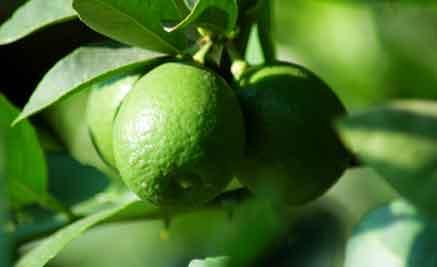 produccion-limon-morelia-michoacan-201120110531